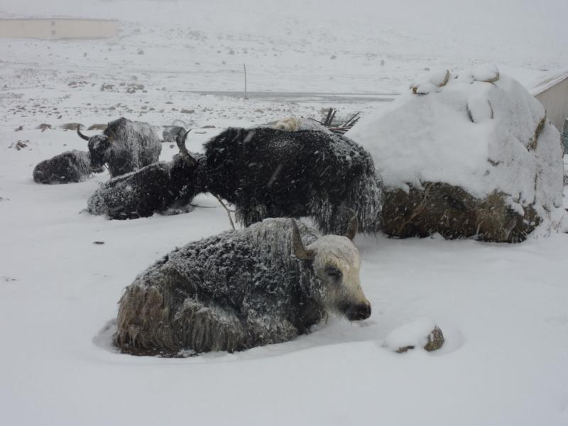 Yaks in a Snow Storm