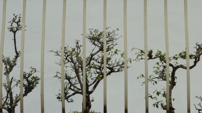 Banzai Trees